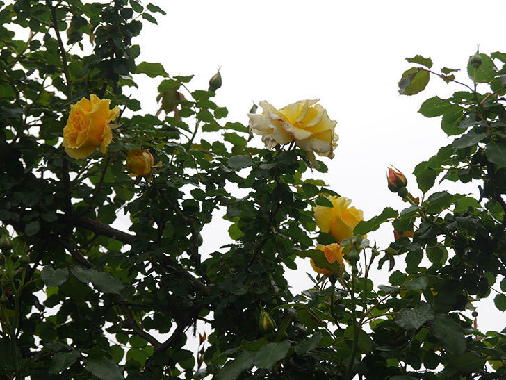 つるゴールドバニー(Gold Bunny Climbing)の花が咲いた。ツルバラ。2021年-035.jpg