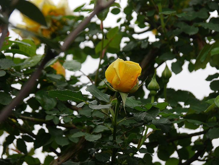 つるゴールドバニー(Gold Bunny Climbing)の花が咲いた。ツルバラ。2021年-036.jpg