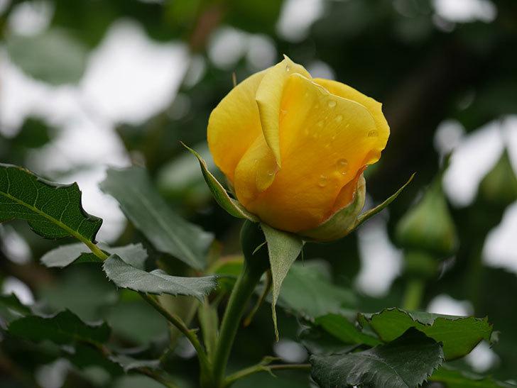 つるゴールドバニー(Gold Bunny Climbing)の花が咲いた。ツルバラ。2021年-038.jpg
