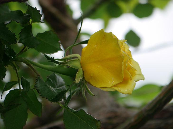 つるゴールドバニー(Gold Bunny Climbing)の花が咲いた。ツルバラ。2021年-039.jpg