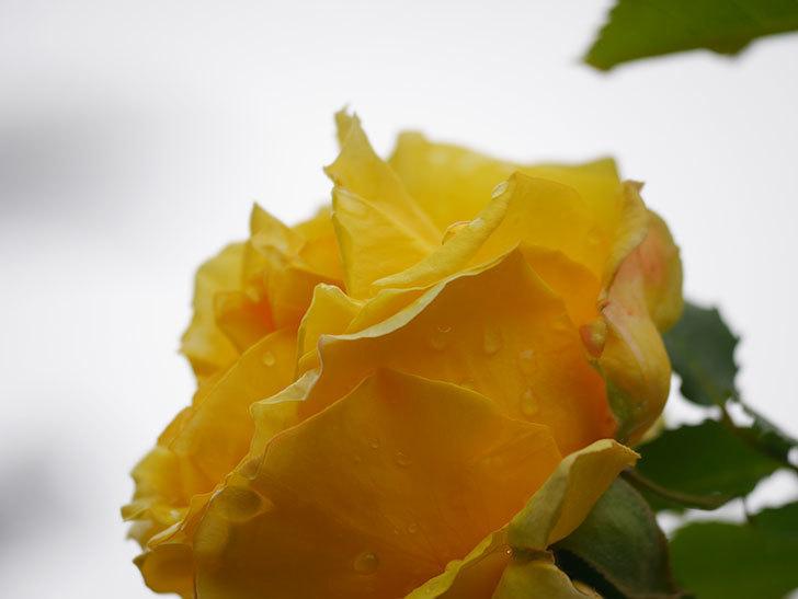 つるゴールドバニー(Gold Bunny Climbing)の花が咲いた。ツルバラ。2021年-040.jpg