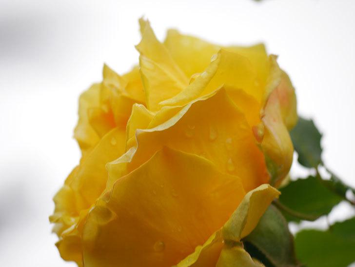 つるゴールドバニー(Gold Bunny Climbing)の花が咲いた。ツルバラ。2021年-041.jpg