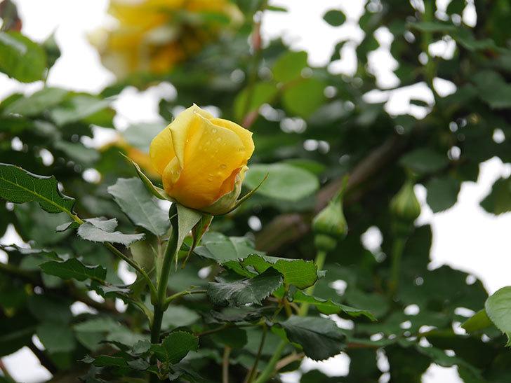 つるゴールドバニー(Gold Bunny Climbing)の花が咲いた。ツルバラ。2021年-043.jpg