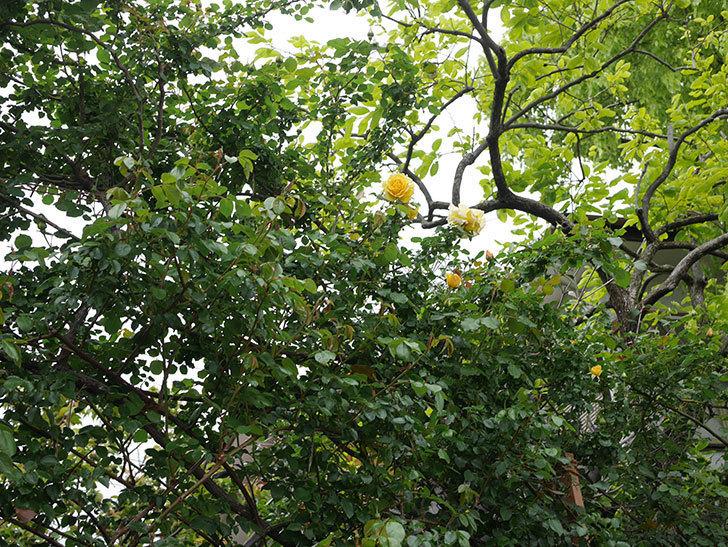 つるゴールドバニー(Gold Bunny Climbing)の花が咲いた。ツルバラ。2021年-046.jpg