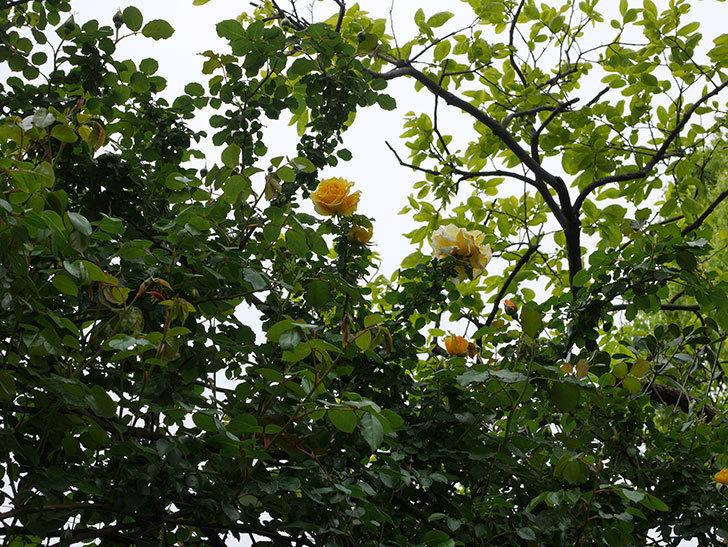 つるゴールドバニー(Gold Bunny Climbing)の花が咲いた。ツルバラ。2021年-047.jpg