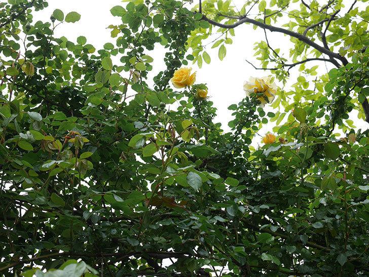 つるゴールドバニー(Gold Bunny Climbing)の花が咲いた。ツルバラ。2021年-048.jpg