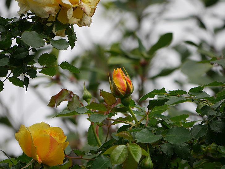 つるゴールドバニー(Gold Bunny Climbing)の花が増えてきた。ツルバラ。2021年-001.jpg