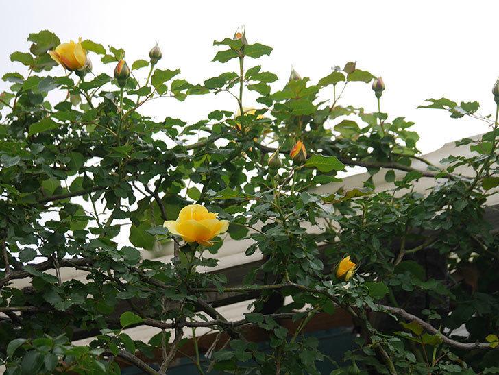 つるゴールドバニー(Gold Bunny Climbing)の花が増えてきた。ツルバラ。2021年-003.jpg