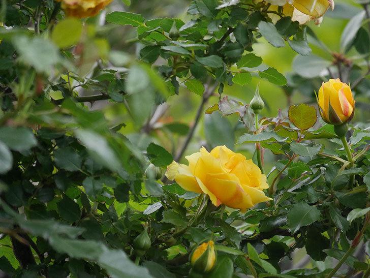 つるゴールドバニー(Gold Bunny Climbing)の花が増えてきた。ツルバラ。2021年-004.jpg
