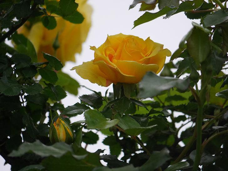 つるゴールドバニー(Gold Bunny Climbing)の花が増えてきた。ツルバラ。2021年-006.jpg