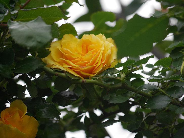 つるゴールドバニー(Gold Bunny Climbing)の花が増えてきた。ツルバラ。2021年-007.jpg
