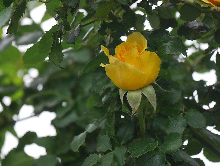 つるゴールドバニー(Gold Bunny Climbing)の花が増えてきた。ツルバラ。2021年-008.jpg