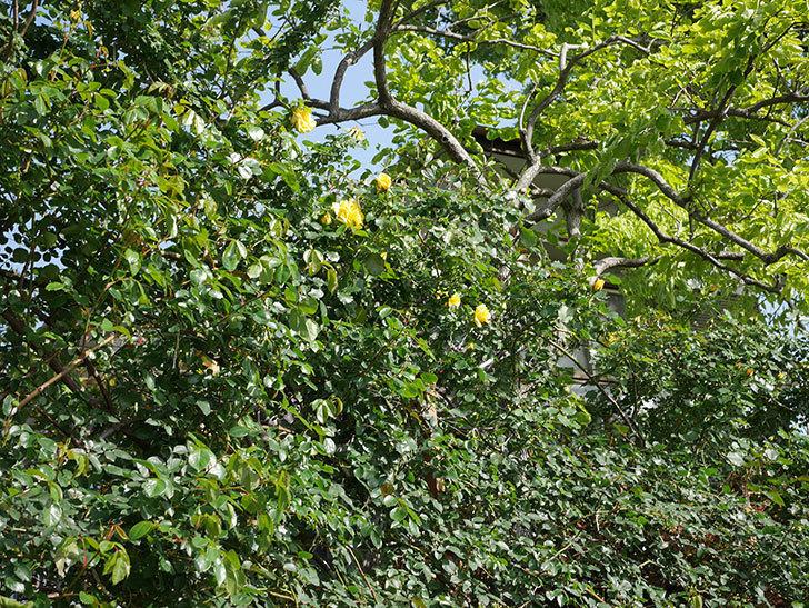つるゴールドバニー(Gold Bunny Climbing)の花が増えてきた。ツルバラ。2021年-009.jpg