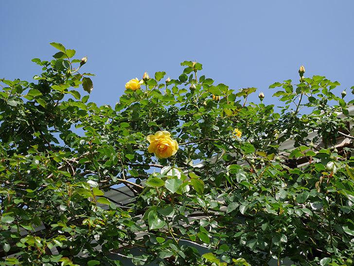 つるゴールドバニー(Gold Bunny Climbing)の花が増えてきた。ツルバラ。2021年-010.jpg