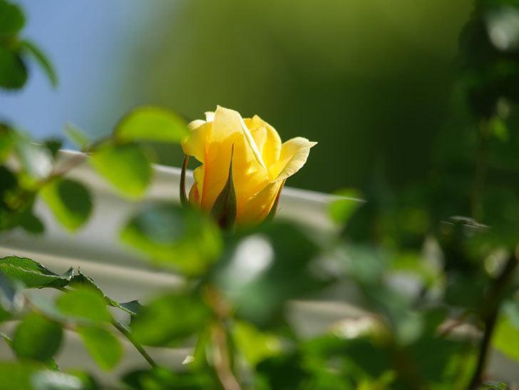 つるゴールドバニー(Gold Bunny Climbing)の花が増えてきた。ツルバラ。2021年-011.jpg