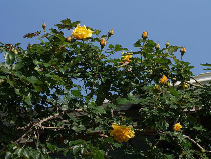 つるゴールドバニー(Gold Bunny Climbing)の花が増えてきた。ツルバラ。2021年-012.jpg