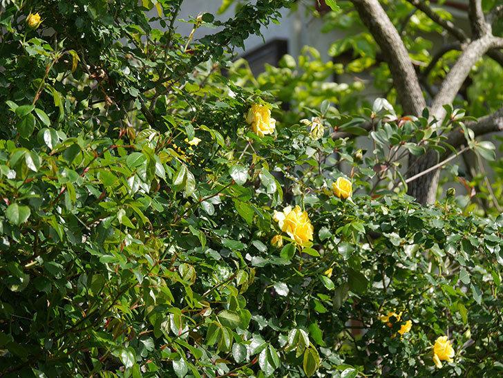 つるゴールドバニー(Gold Bunny Climbing)の花が増えてきた。ツルバラ。2021年-013.jpg