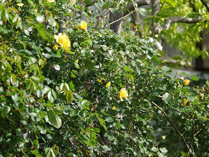 つるゴールドバニー(Gold Bunny Climbing)の花が増えてきた。ツルバラ。2021年-014.jpg
