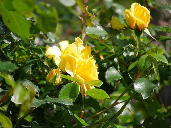 つるゴールドバニー(Gold Bunny Climbing)の花が増えてきた。ツルバラ。2021年-015.jpg