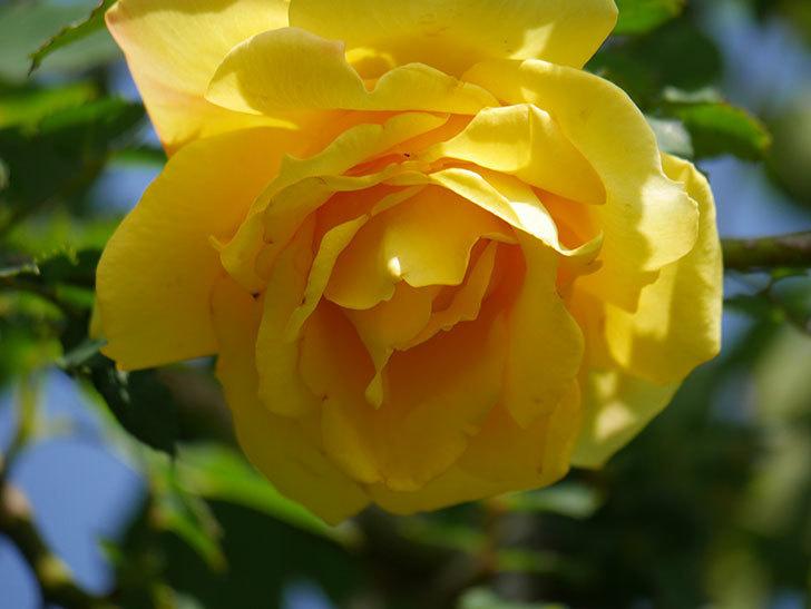 つるゴールドバニー(Gold Bunny Climbing)の花が増えてきた。ツルバラ。2021年-016.jpg