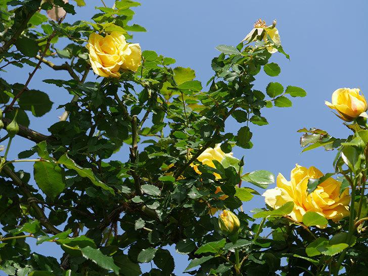 つるゴールドバニー(Gold Bunny Climbing)の花が増えてきた。ツルバラ。2021年-017.jpg