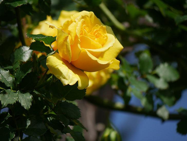 つるゴールドバニー(Gold Bunny Climbing)の花が増えてきた。ツルバラ。2021年-018.jpg