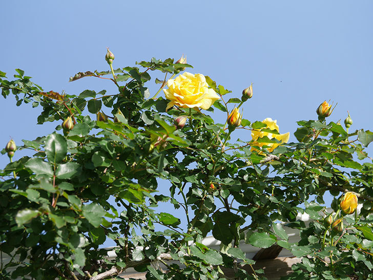 つるゴールドバニー(Gold Bunny Climbing)の花が増えてきた。ツルバラ。2021年-019.jpg