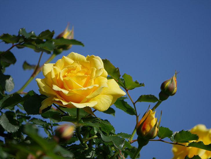 つるゴールドバニー(Gold Bunny Climbing)の花が増えてきた。ツルバラ。2021年-020.jpg