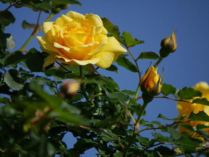 つるゴールドバニー(Gold Bunny Climbing)の花が増えてきた。ツルバラ。2021年-021.jpg