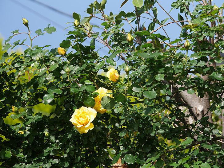 つるゴールドバニー(Gold Bunny Climbing)の花が増えてきた。ツルバラ。2021年-022.jpg
