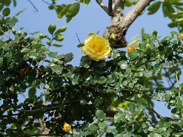 つるゴールドバニー(Gold Bunny Climbing)の花が増えてきた。ツルバラ。2021年-023.jpg