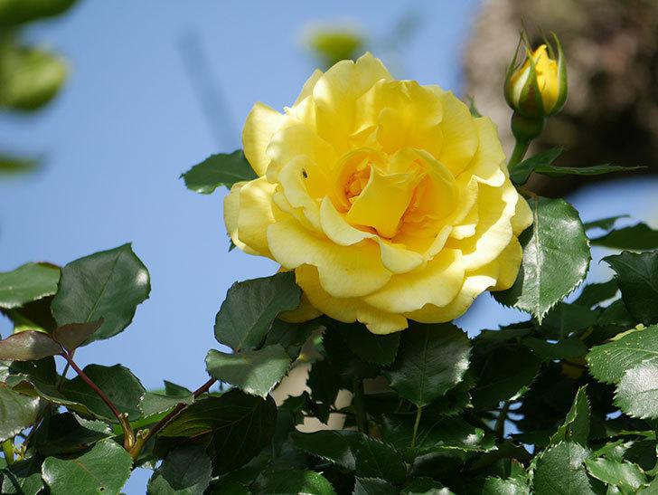 つるゴールドバニー(Gold Bunny Climbing)の花が増えてきた。ツルバラ。2021年-024.jpg