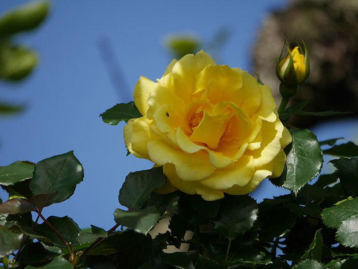 つるゴールドバニー(Gold Bunny Climbing)の花が増えてきた。ツルバラ。2021年-025.jpg
