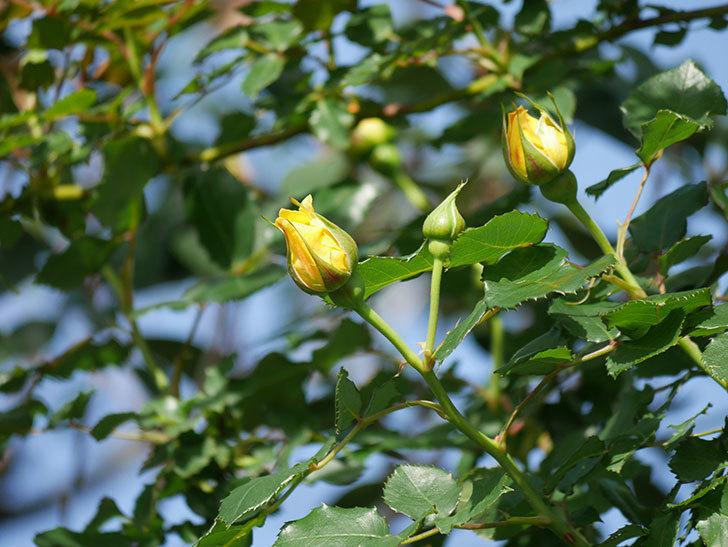 つるゴールドバニー(Gold Bunny Climbing)の花が増えてきた。ツルバラ。2021年-026.jpg