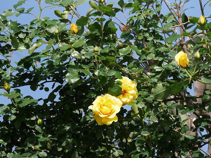 つるゴールドバニー(Gold Bunny Climbing)の花が増えてきた。ツルバラ。2021年-028.jpg