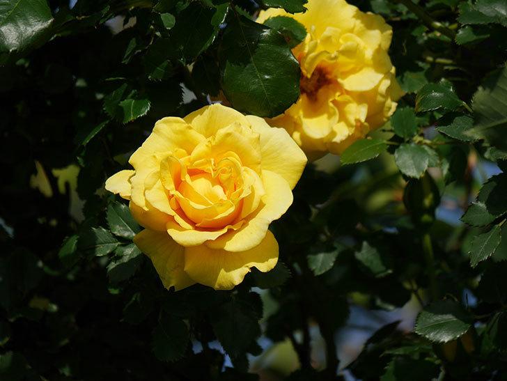 つるゴールドバニー(Gold Bunny Climbing)の花が増えてきた。ツルバラ。2021年-029.jpg