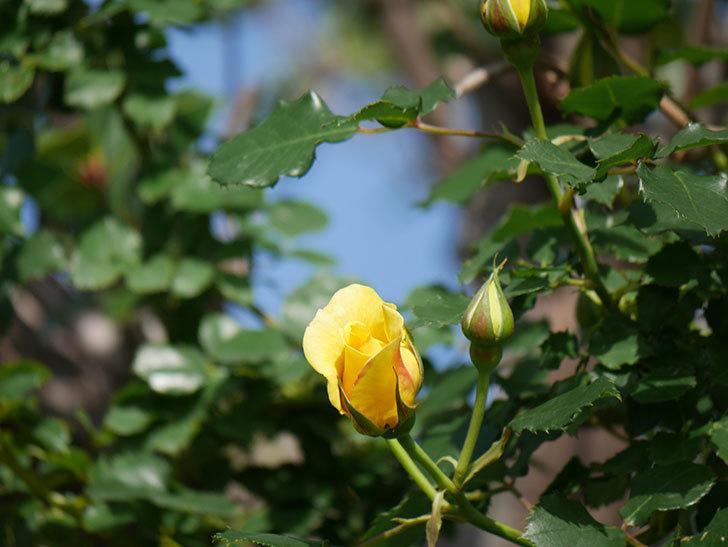 つるゴールドバニー(Gold Bunny Climbing)の花が増えてきた。ツルバラ。2021年-030.jpg