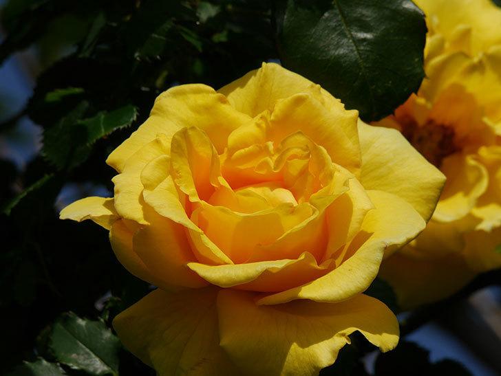 つるゴールドバニー(Gold Bunny Climbing)の花が増えてきた。ツルバラ。2021年-031.jpg