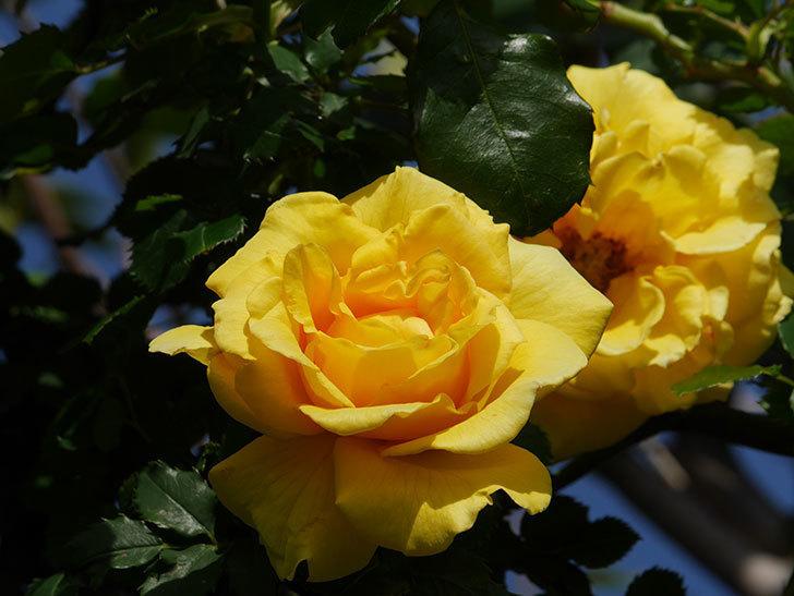つるゴールドバニー(Gold Bunny Climbing)の花が増えてきた。ツルバラ。2021年-032.jpg