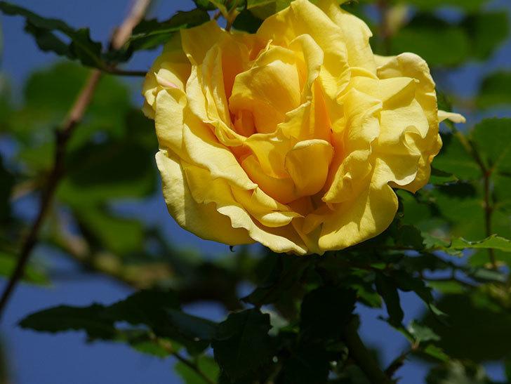 つるゴールドバニー(Gold Bunny Climbing)の花が増えてきた。ツルバラ。2021年-033.jpg