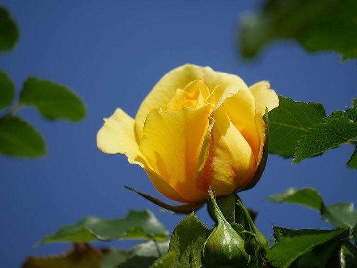 つるゴールドバニー(Gold Bunny Climbing)の花が増えてきた。ツルバラ。2021年-034.jpg