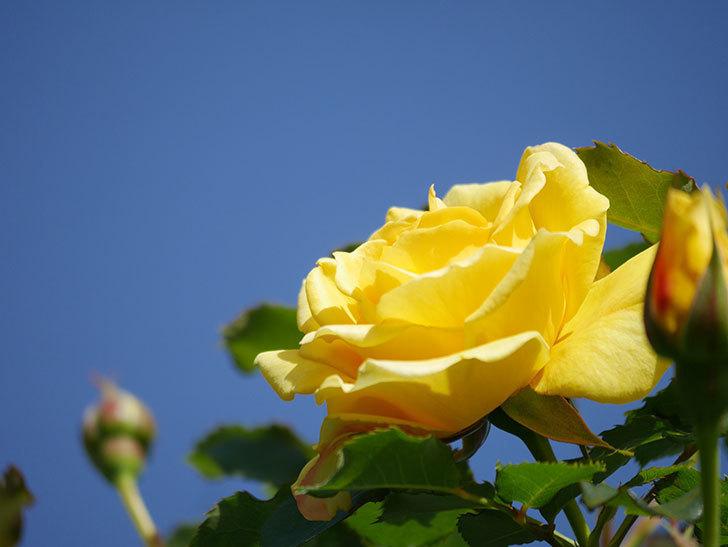 つるゴールドバニー(Gold Bunny Climbing)の花が増えてきた。ツルバラ。2021年-035.jpg