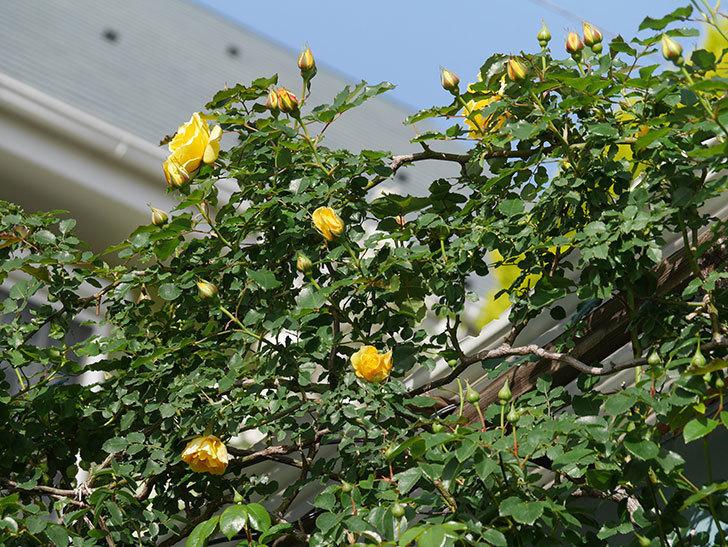 つるゴールドバニー(Gold Bunny Climbing)の花が増えてきた。ツルバラ。2021年-036.jpg