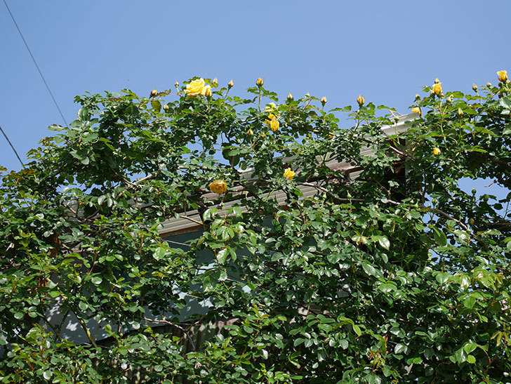 つるゴールドバニー(Gold Bunny Climbing)の花が増えてきた。ツルバラ。2021年-037.jpg