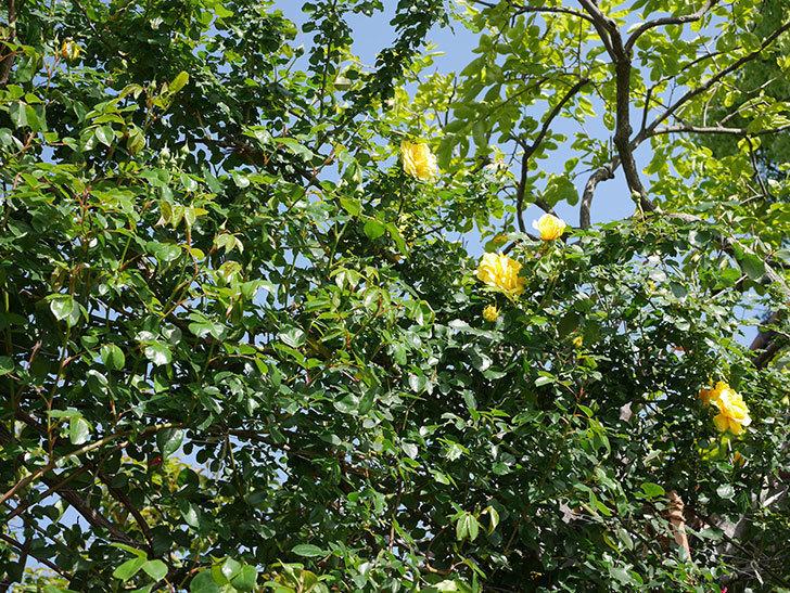 つるゴールドバニー(Gold Bunny Climbing)の花が増えてきた。ツルバラ。2021年-038.jpg