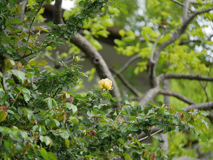つるゴールドバニー(Gold Bunny Climbing)の花が少し咲いた。ツルバラ。2021年-001.jpg