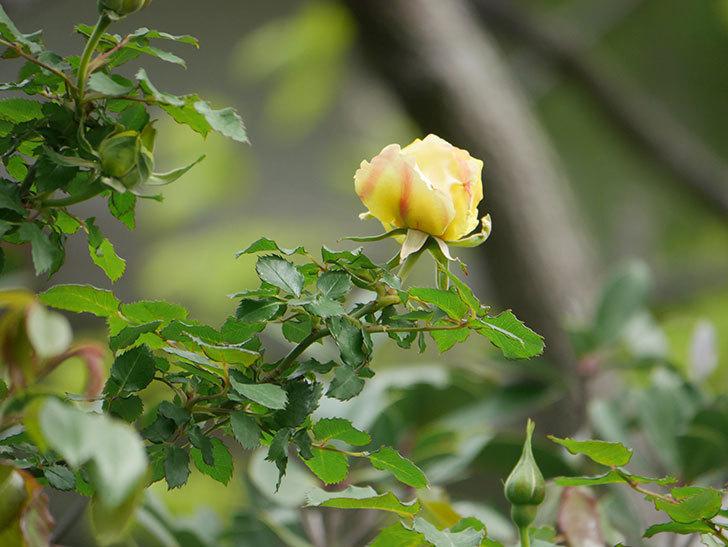 つるゴールドバニー(Gold Bunny Climbing)の花が少し咲いた。ツルバラ。2021年-002.jpg