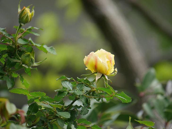 つるゴールドバニー(Gold Bunny Climbing)の花が少し咲いた。ツルバラ。2021年-003.jpg