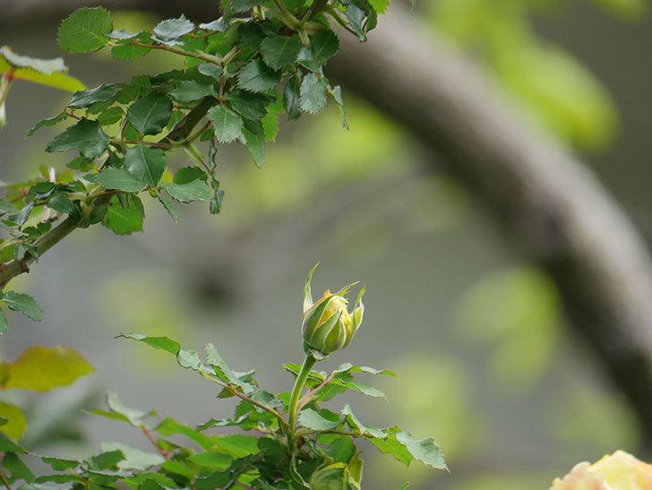 つるゴールドバニー(Gold Bunny Climbing)の花が少し咲いた。ツルバラ。2021年-004.jpg