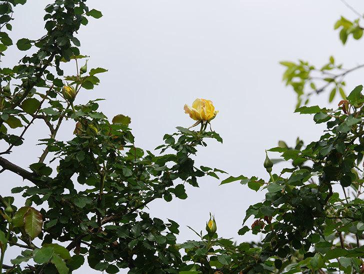 つるゴールドバニー(Gold Bunny Climbing)の花が少し咲いた。ツルバラ。2021年-005.jpg